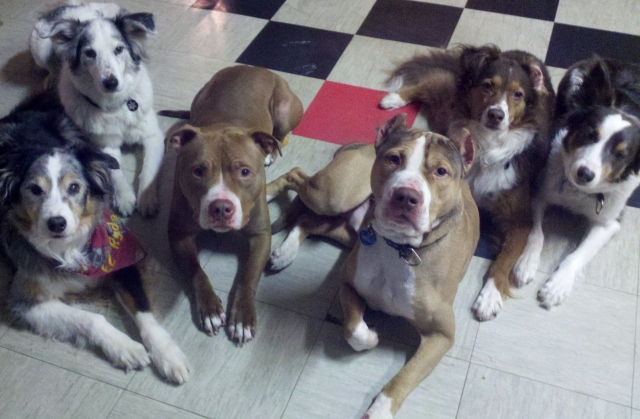 "These two shelter ""pit bull"" dogs are in training to become assistance dogs"