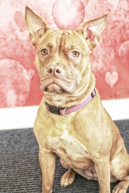 Autumn at Canine Cupids, WI: Listed as Pit Bull Terrier Mix