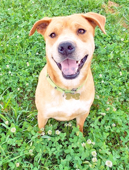 Bradley at Homestretch Hounds, OH: Listed as Pit Bull Terrier Mix