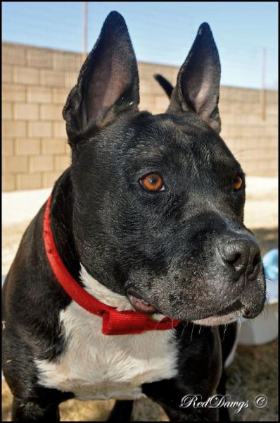 Buddy at Grateful Dogs Rescue, CA: Listed as American Staffordshire Terrier and Pit Bull Terrier Mix