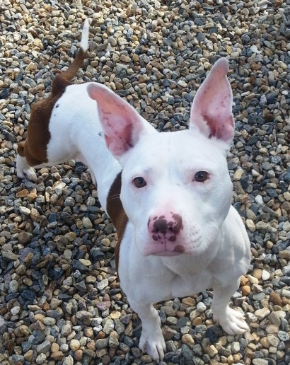 Bunny of Manchester Animal Care and Control CT: Listed as Pit Bull Terrier and English Bulldog mix