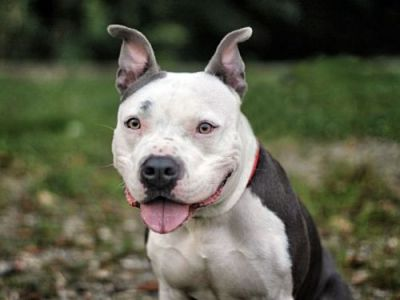 Chase of Response-a-Bull Rescue DE: listed as Pit bull Terrier