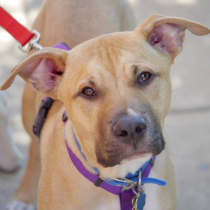 Sampson of Mutt Love Rescue, VA: listed Pit Bull Terrier